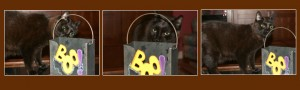 """Theo the Cat smelling a Halloween """"Boo"""" bag brought in from outside"""