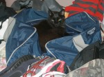 Theo the cat in our luggage, trying to keep us from packing